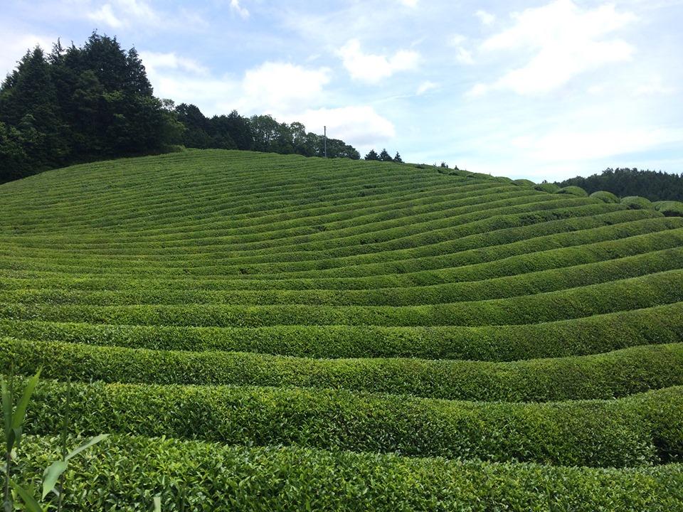 【6/15(土)】本物のお茶を作る・知る・楽しむ☆奈良県・健一自然農園ツアー
